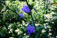 asters_and_blues